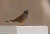 House Bunting /Hussparv (Emberiza striolata) (Hans Olofsson) Tags: 2016 essaouira marocko morocco hussparv housebunting emberizastriolata oiseaux singing sjungande