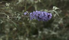 Fall Flowers (rumimume) Tags: potd rumimume 2016 niagara ontario canada photo canon 550d t2i sigma purple grey flower fall