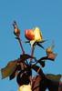 DSC_2106 (PeaTJay) Tags: nikond70s reading lowerearley berkshire macro micro closeups gardens outdoors nature winter frost flora fauna plants flowers rose roses rosebuds