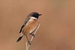 Stonechat (Hammerchewer) Tags: stonechat bird male wildlife outdoor