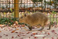 HFF! (Otterhaus) Tags: japan zoo capybara hff happyfencefriday