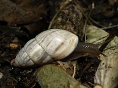 Zebrina detrita (fturmog) Tags: fauna molluscos moluscos cargols caracoles snails alsdebalaguer