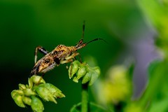 2016 Clouded Plant Bug (Neurocolpus nubilus) 3 (DrLensCap) Tags: clouded plant bug neurocolpus nubilus weber spur trail labagh woods chicago illinois il true biug insect rails to trails cook county forest preserve district preserves robert kramer abandoned union pacific railroad right way