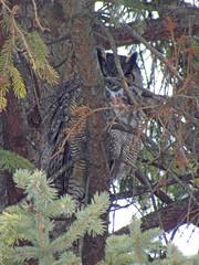 Great-Horned Owl (farpost) Tags: birds