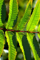 Jagged edges (vinnie saxon) Tags: leaves green nature backlight autumn nikoniste nikon d600 bokeh detail