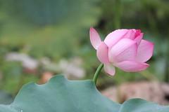 Morning lotus (cattan2011) Tags: lotus sanbaishan china travel travelblogger traveltuesday landscape landscapephotography nature natureperfection naturephotography waterscape
