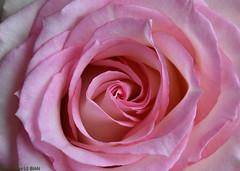 Joli coeur de rose ! (TICHAT10) Tags: fleursetplantes roses rose alittlebeauty coth