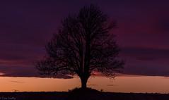 Purplepaint sunset (TLU66) Tags: ash lonelytree d7100 heer drbak sunset solnedgang purple lilla nature