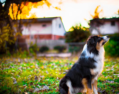 Golden Hour Max (Lynleigh Cooper) Tags: sunset sun color colors colorful colorimage pets pet petphotography animals animal cuteanimals cute adorable family fall fanciful favorite magic magical primelens pretty beauty beautiful beautyinnature nature naturalbeauty natureshot photography photographer photo photooftheday photograph photos love nikon nikond610 d610 fullframe dog dogs puppy puppies aussie australianshepherd amazing autumn outdoors outside outdoor fun orange green grass leaves yellow stunning 50mm nikon50mm14 lovely lowlight bestoftheday bestfriend friends oklahoma america oklahomacity goldenhour goldenhourlight life light