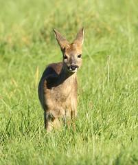 Roe Kid - In the autumn sunshine (glostopcat) Tags: roedeer deer buck fawn kid glos mammal animal wildlife