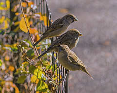 Color of Autumn 2016 In NYC (Three Sparrows Perched On Fence At Central Park Lake) (nrhodesphotos(the_eye_of_the_moment)) Tags: dsc0910972 theeyeofthemoment21gmailcom wwwflickrcomphotostheeyeofthemoment colorofautumn2016innyc plants fence bird animallife candid bokeh perched autumn season lake centralpark botanicals waterfront trees plantlife nature foliage reflections shadows outdoor architecture water sunlit skyline manhattan nyc landscape sparrow animal songbird