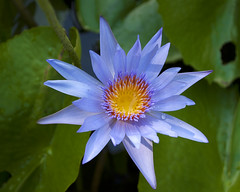 Lotus bleu - Jardin de Pamplemousses (nicomadrid12) Tags: fleur lotus lemaurice calme nature parc jardin flower garden mauritiusisland outdoor extrieur
