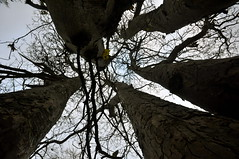 Splitting the sky, I tree 5 trunks (petelovespurple) Tags: tree trunks branches