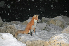 Snowy Night (marylee.agnew) Tags: snowing night snow flakes cold red fox kit first christmas white canine nature outdoor freezing mammal young