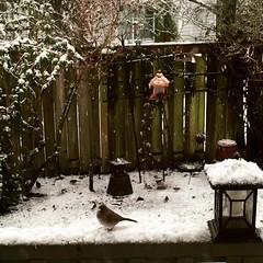 Birds in the Snow (CarolMunro) Tags: bird snow winter video oregon sthelens sainthelens