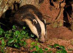 Badger ( Meles meles ) (Kevin Keatley1) Tags: badger badgers britishwildlife afterdark naturephotography wildlifephotography melesmeles outdoorphotography naturepictures natureandwildlife middevon wildlifewatchingsupplies kevinkeatley hedgerowbadger