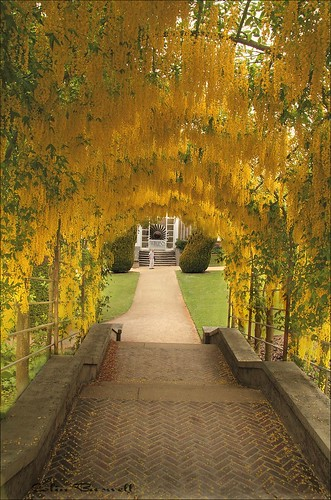 Chatsworth House Laburnum