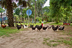 Why did the rooster cross the road? (LuAnn Hunt) Tags: road chickens walking crossing cross chicks fav daufuskie clucking