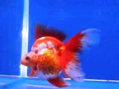 ปลาทอง ฮอลันดา ไซต์วิวสวย