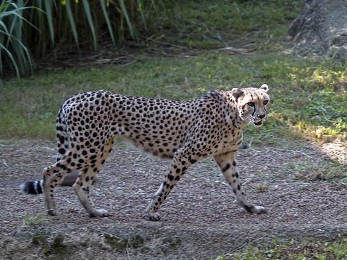Cheetah 09-01-2011 7