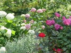 In my garden (lovesdahlias 1) Tags: flowers summer nature gardens ngc newengland lovesdahlias1