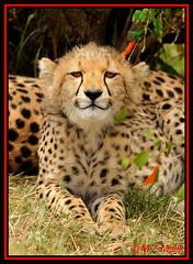CHEETAH CUB (Acinonyx jubatus).....MASAI MARA....OCT 2012 (M Z Malik) Tags: africa nikon kenya wildlife ngc safari cheetah masaimara keekoroklodge d3x flickrbigcats exoticafricancats exoticafricanwildlife 200400mm14afs