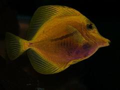 Slippery when wet ! (Shelby's Trail) Tags: orange fish yellow aka poster sliding solarized tang edges tsc surgeon hss eightdaysaweek twtme cmwdorange sliderssunday thesundaychallenge trianglerectanglecircle