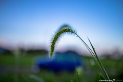 MINI #2 (iwakawa73) Tags: blue sky green nature grass car japan 35mm canon eos dewdrops dof bokeh sigma mini rover kagoshima 6d bokehlicious iwakawa73