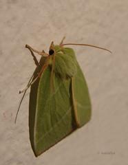 Bukov zelenček (natalija2006) Tags: green lepidoptera slovenia slovenija nolidae pseudoips prasinana metulji silverlines bukovzelenček sovke čopaste