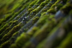 Corrugated roof, Isle of Ulva. (macal1961) Tags: roof abstract green nature moss decay depthoffield weathering corrugatedroof leicame