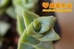 Crassula perforata variegata (hhjj0056) Tags: crassula variegata perforata