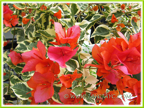 Bengal orange bougainvillea