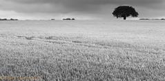 Lone Tree (Mark Twells) Tags: england unitedkingdom thattree