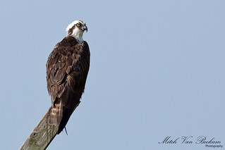Sittin' Pretty (Osprey)