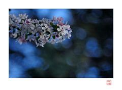 Cerise en bleu (heritagefutures) Tags: flower lens cherry 1930s nikon bokeh f45 sakura medium format konica dslr trial largeformat sensor hexar d300  apsc rokuohsha 21cm konishiroku