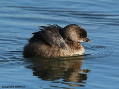 Pied-billed Grebe (Eulas Bradford) Tags: ca winter mountain lake canon is view shoreline 500mm grebe plumage piedbilled f4l 70d