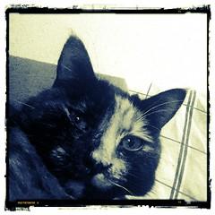 23.10.2013 - 296/365 (noisy__nisroc) Tags: pet animal cat mobil bonsai 365 flickrandroidapp:filter=chameleon