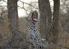 Leopard Yawn_AP7V1224 (JFlewellen) Tags: southafrica leopard rhino lions zebra cheetah hippo wildebeast impala hyena krugernationalpark capebuffalo sundowner greyheron malelion lionpride bushbuck lilacbreastedroller martialeagle hyenaden blacksmithlapwing londolozifounderscamp elephantplains purplebreastedroller leopardkill hyenapups zebrakill rhinocalf hippopod ngalaprivategamereserve wildebeastkill lionnightpride