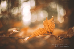 The Parchment of Autumn (Thousand Word Images by Dustin Abbott) Tags: autumn light ontario canada fall beautiful pembroke leaf woods bokeh fineart atmosphere m42 dreamy desaturated fu