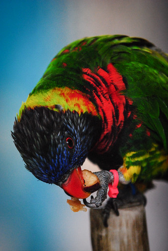 Indianapolis Zoo, Lorikeet