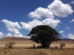 Africa 2013 (alanoliver27) Tags: sky sun tree amazing ngorongoro lions serengeti acacia