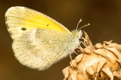 20131008-02347 (Wes Edens) Tags: macro oklahoma butterfly insect sony moth sulphur tamron90mm tamron90mm28f slta77v