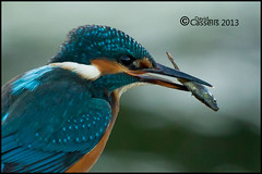 Kingfisher-with-fish (David E Cassells) Tags: