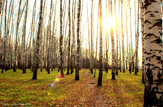 Serenity (grce) Tags: park autumn trees light sun nature way grove path flare birch
