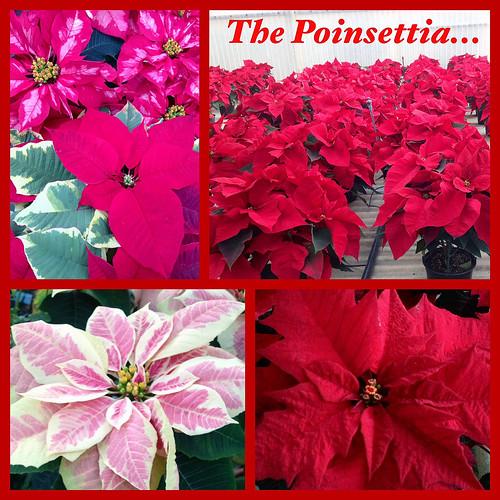 Poinsettia Collection - Lafayette Florist & Greenhouses in Lafayette, Colo.