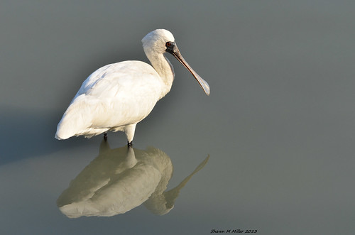 Reflection - Black-faced spoonbill