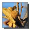 Not A Sweetgum (Hold still) Tags: trees fallcolors missouri elements wetlands photoshopelements squawcreek nikond90 squawcreeknationalwildliferefuge afsnikkor70300mm sycamorefruit moundcitymissouri adobephotoshopelements8 elementsorganizer