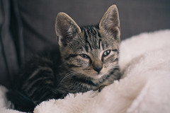 {green eyes} (Audrey Meffray) Tags: cute green cat canon 50mm eyes chat nap bokeh availablelight small young chaton 50mm18ii canon50mmf18ii canon450d