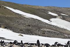 Antarctica - Day six0866 (GLRPhotography) Tags: snow ice penguin antarctica chinstrap deceptionisland 100400 baileyhead