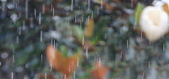 Magnolia Rain (Zoom Lens) Tags: flowers flower tree wet water rain drops blossom bees blossoms drop bee bumblebee drip rainy bloom magnolia raindrops rainstorm drips blooms splash bumblebees honeybee splatter rainfall downpour drizzle rainwater magnoliatree honeybees magnoliaflower johnrussellakazoomlens copyrightbyjohnrussellallrightsreserved themagnoliauniverse themagnoliauniversepartii